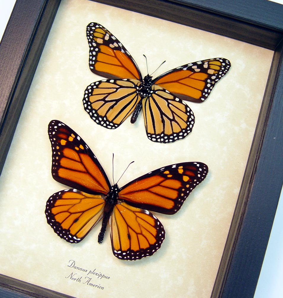 Monarch Collection Monarch Butterflies