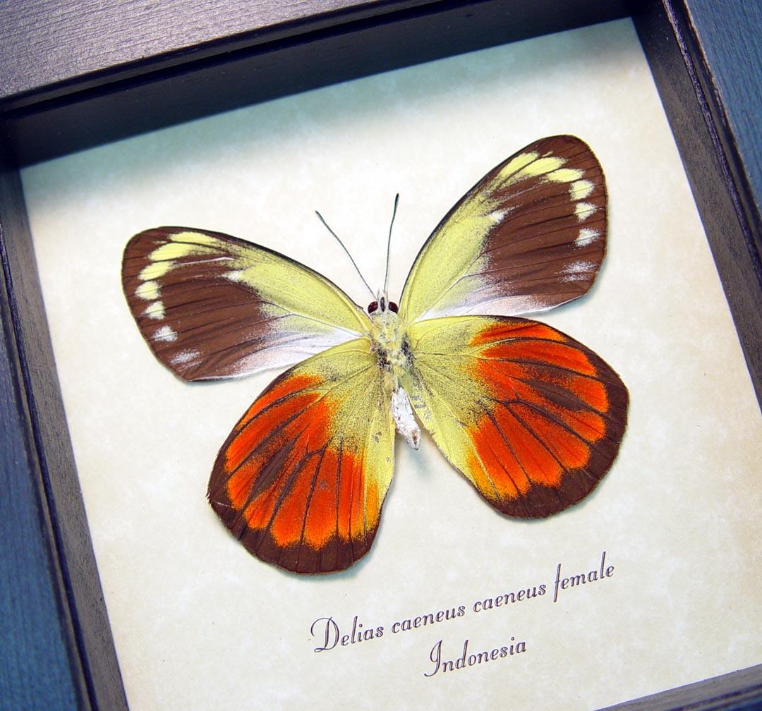 Delias caeneus caeneus Female Rare Framed Butterfly