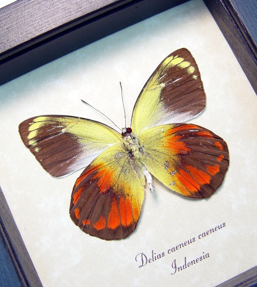 Delias caeneus caeneus male Rare Framed Butterfly ooak