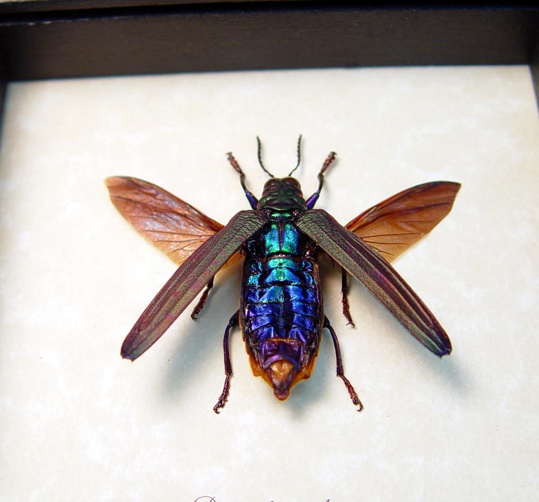 Demochroa detanii Rainbow Jewel Beetle