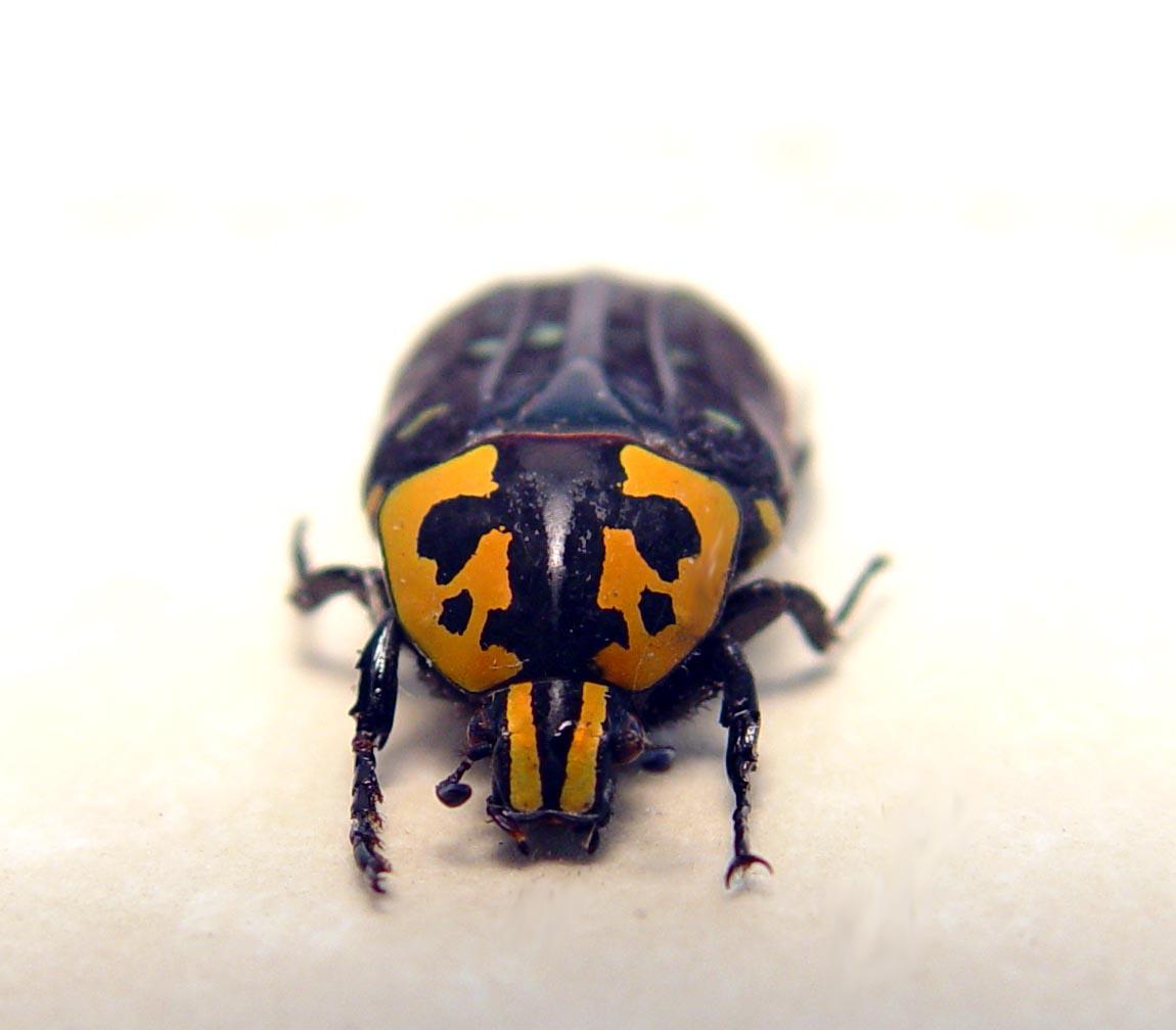Euchroea clementi riphaeus Madagascar Flower Beetle ooak