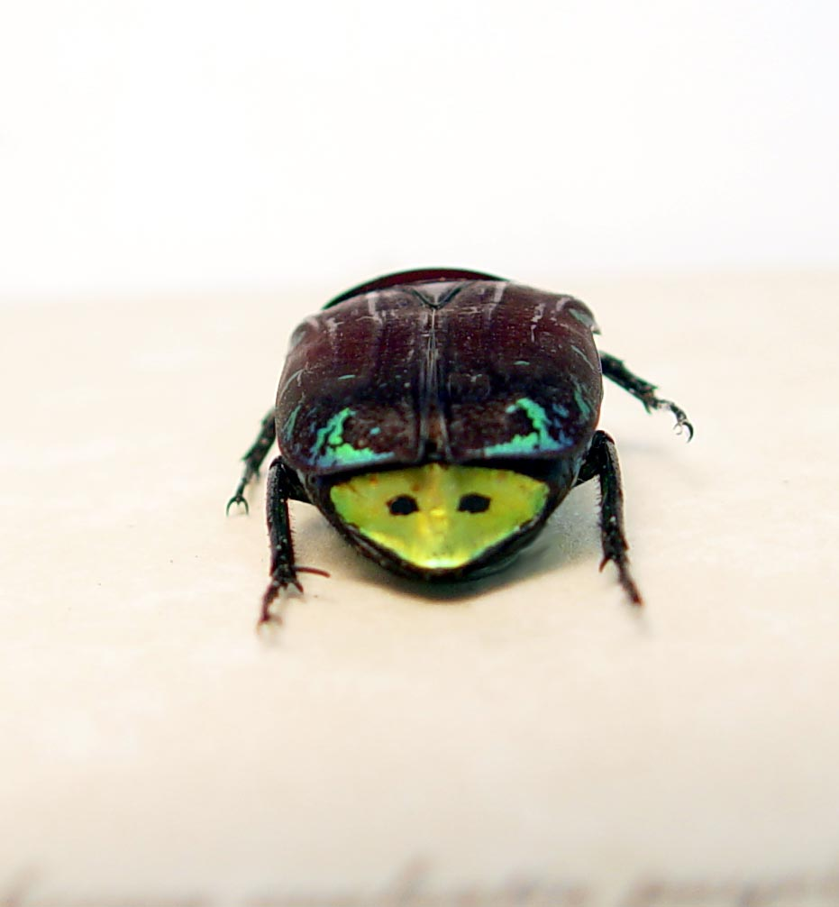Euchroea coelestis peyrierasi Madagascar Flower Beetle