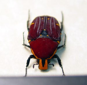 Euchroea episcopalis Madagascar Beetle Red Velvet Flower Beetle ooak