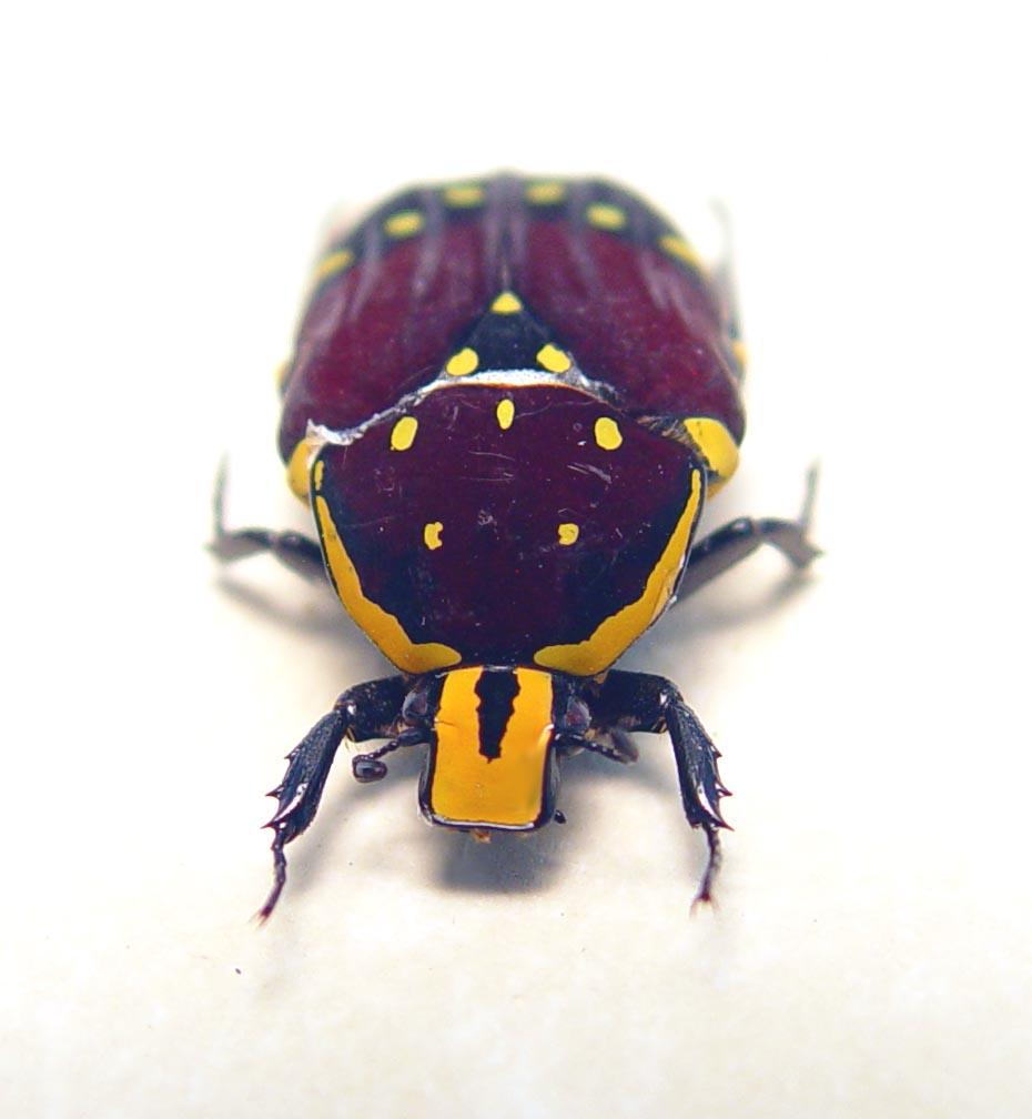 Euchroea histrionica Madagascar Beetle Red Velvet Flower Beetle ooak
