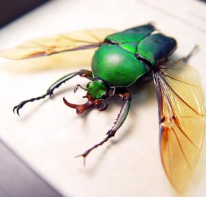 Eudicella morgani camerunensis Male Green Flying African Beetle ooak