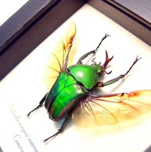 Eudicella morgani camerunensis Male Multi Flying African Beetle ooak