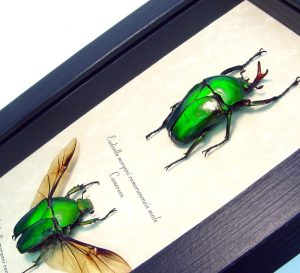 Eudicella morgani camerunensis Pair Green Flying African Beetles ooak
