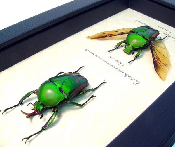 Eudicella morgani camerunensis Pair Multi Flying African Beetles ooak