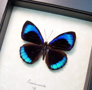 Eunica eurota Electric Blue Butterfly ooak