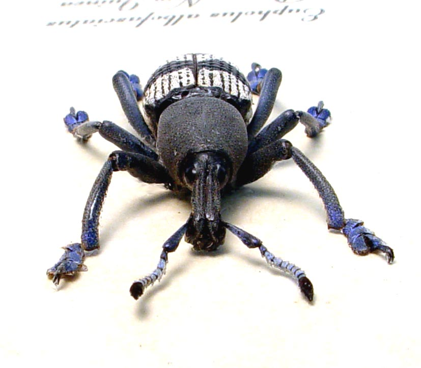 Eupholus albofasciatus Gray Banded Weevil Rare Beetle
