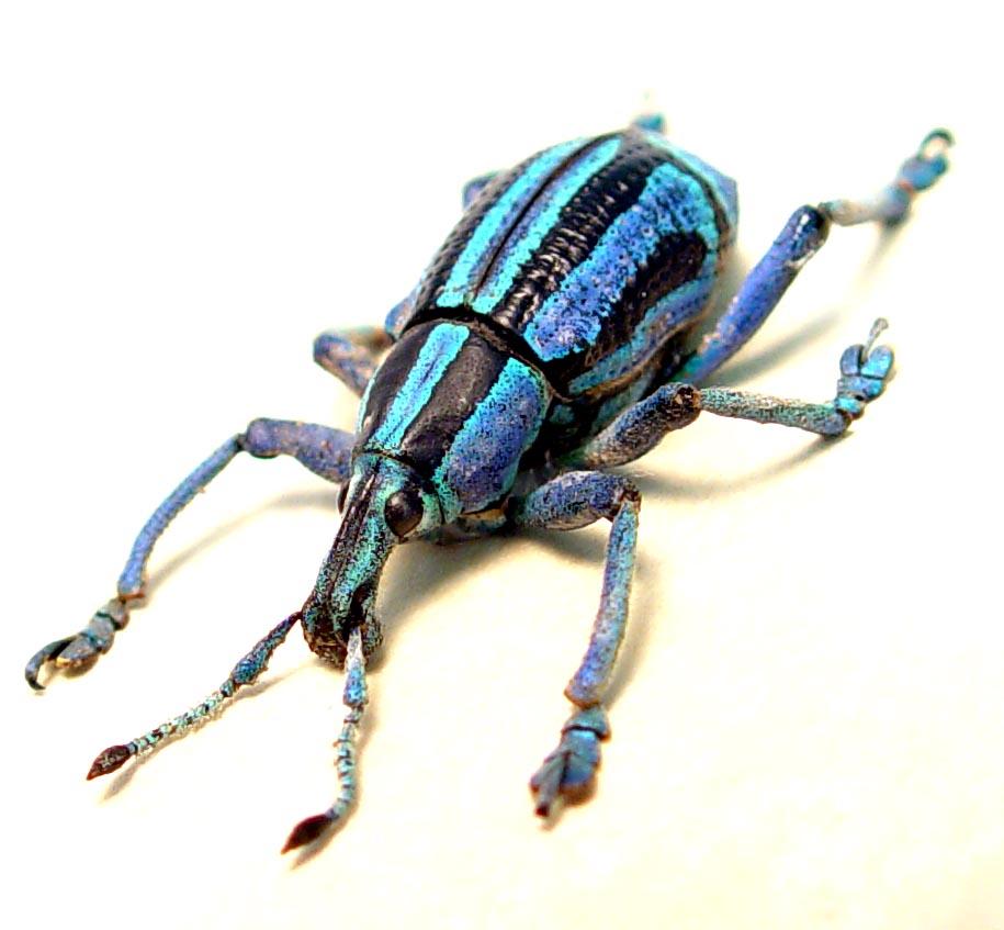 Eupholus bennetti Blue Green Weevil Rare Beetle ooak