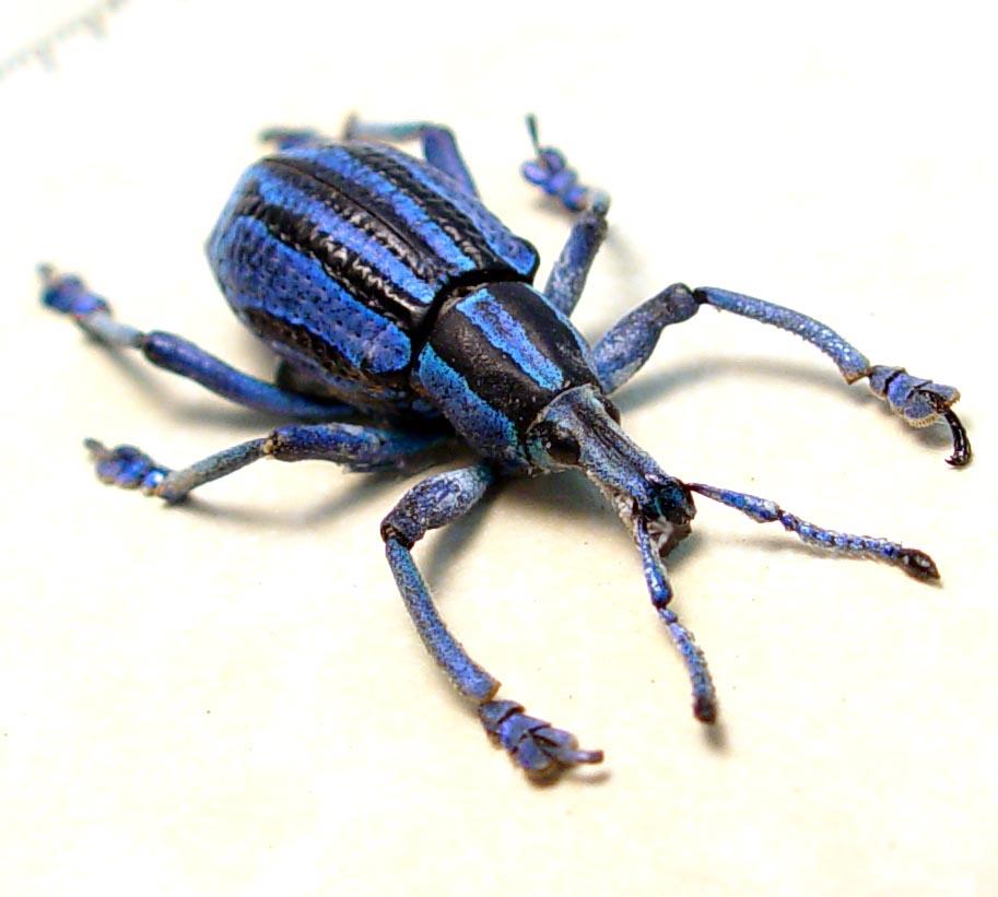 Eupholus bennetti Purple Weevil Rare Beetle ooak