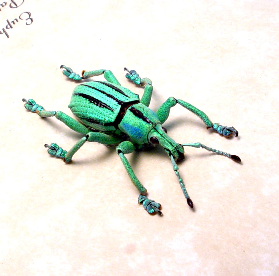 Eupholus cuvieri Green Glowing Weevil Rare Beetle ooak