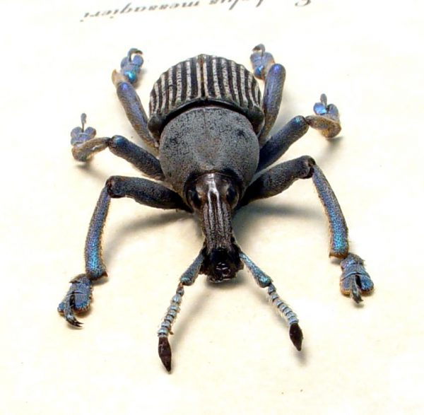 Eupholus messagieri Gray Banded Weevil Rare Beetle ooak