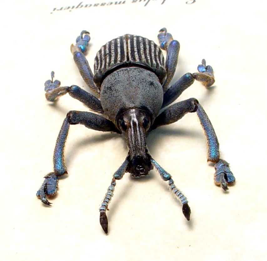 Eupholus messagieri Gray Banded Weevil Rare Beetle