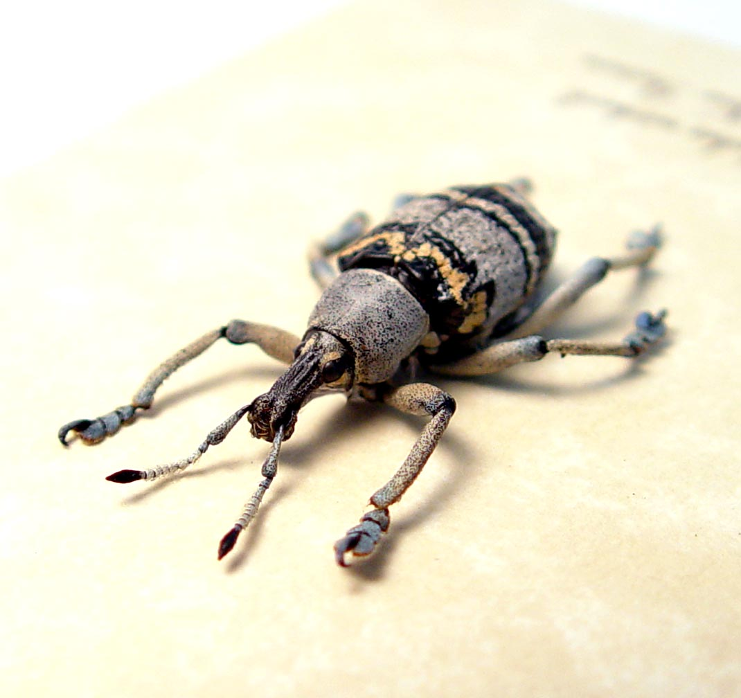 Eupholus nickerli Gray Banded Weevil Rare Beetle ooak