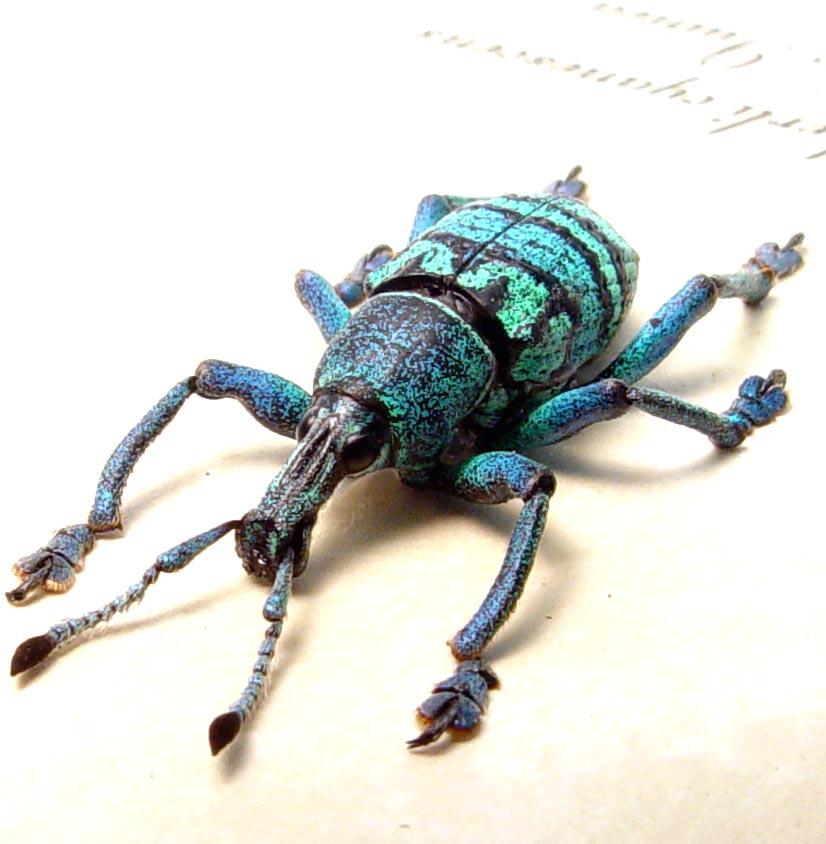 Eupholus nickerli cyanescens Green Weevil Rare Beetle