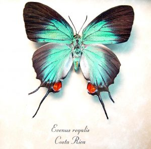 Evenus Regalis Female Regal Hairstreak Framed Costa Rica Butterfly ooak