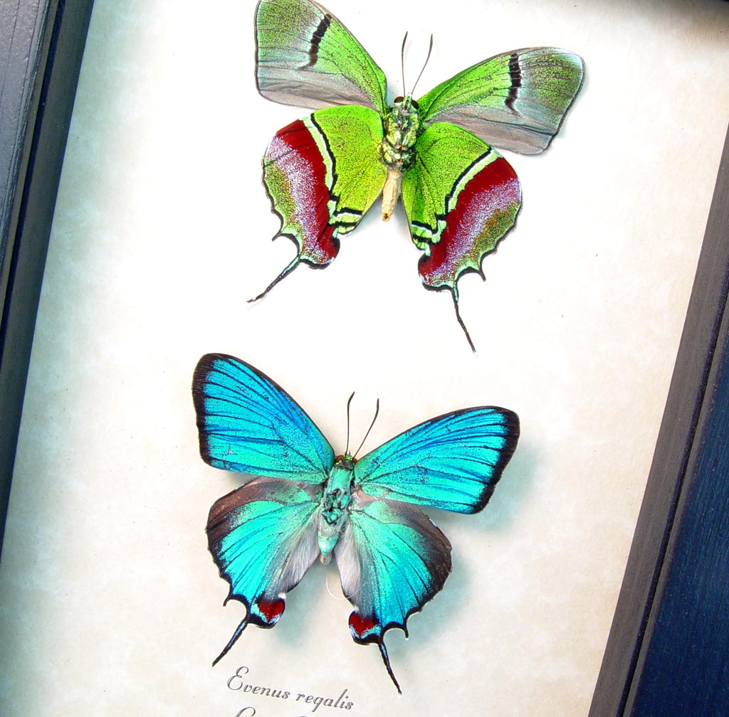 Evenus Regalis Set Regal Hairstreak Framed Costa Rica Butterflies