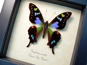 Purple Spotted Swallowtail Framed Butterfly Lavender OOAK