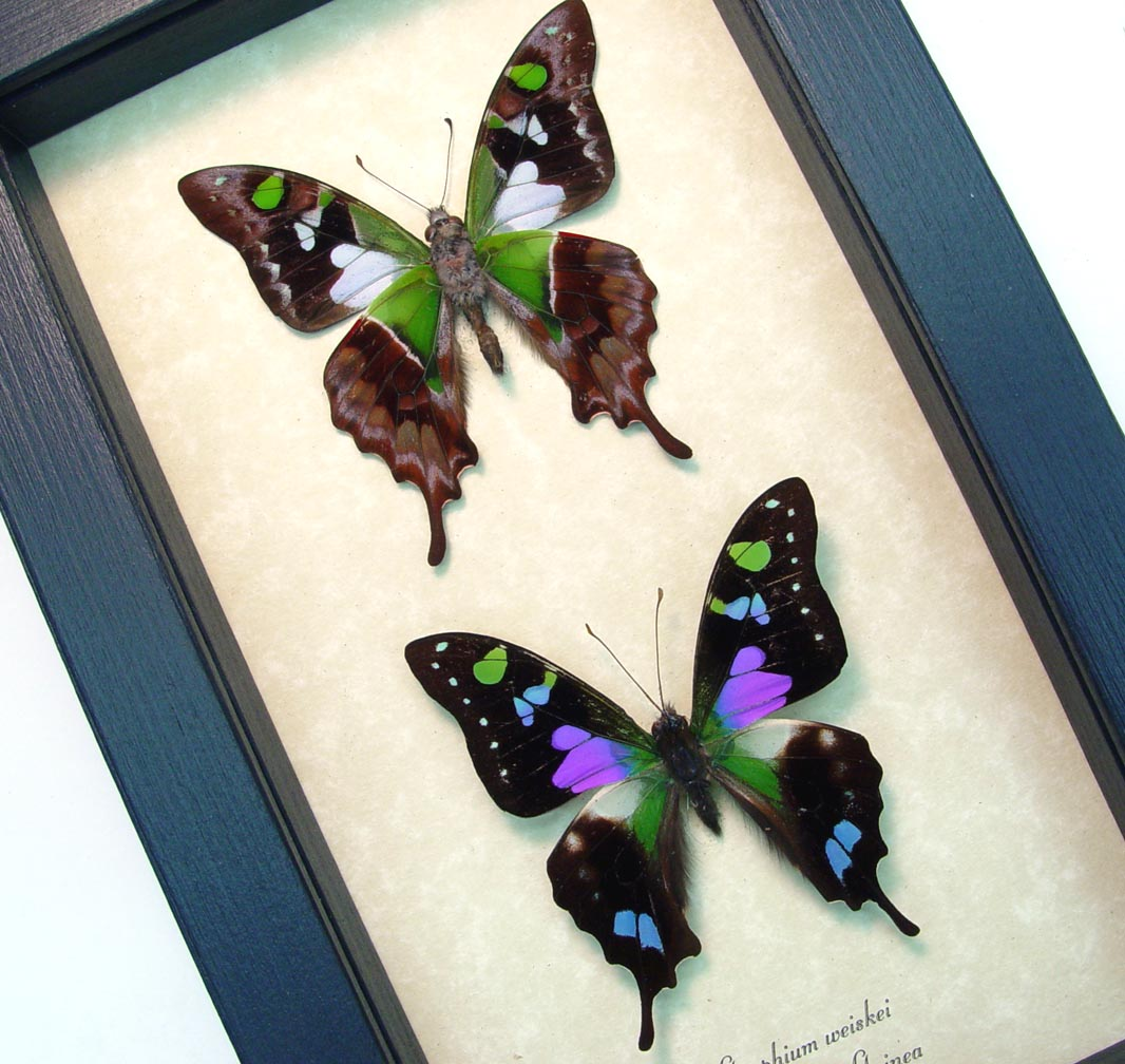 Graphium weiskei Pair Purple Spotted Swallowtail