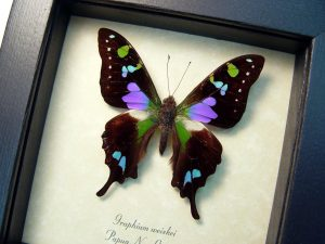 OOAK One Of A Kind Item-The Specimen Pictured Is The Actual Item You Will Receive! Specimen size: 60mm Wingspan Purple Spotted Swallowtail Framed Butterfly Purple OOAK Species: Graphium Weiskei Interesting Traits: Amazing colorful swallowtail with purple, fuschia & green colors! Common Name: Purple Spotted Swallowtail Native Origin: Papua New Guinea Frame Size: 5″x 5″