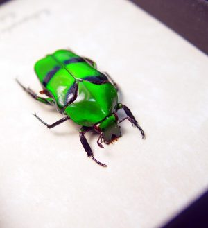 Ischiopsopha bifasciata Green flower Beetle