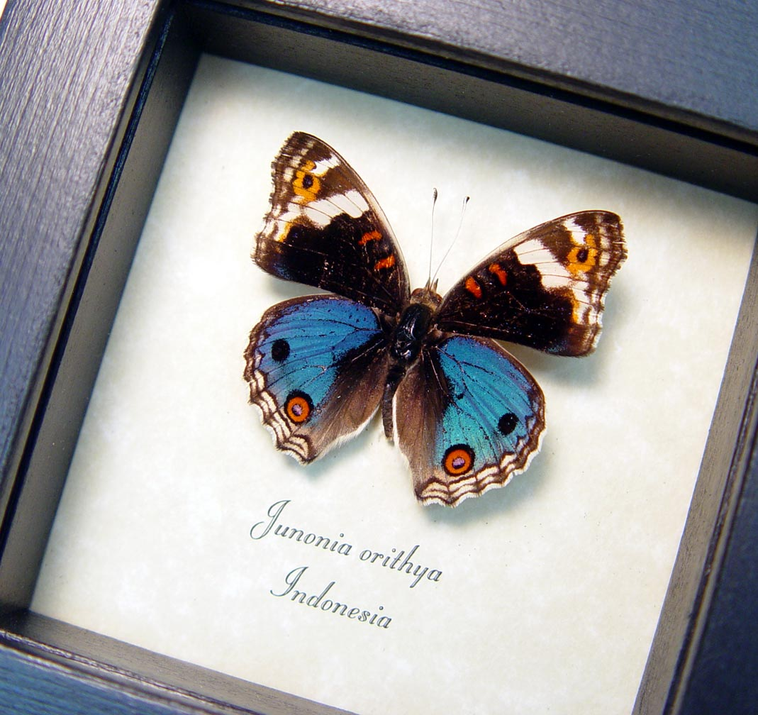 Junonia orithya Blue Pansy Framed Butterfly Display ooak