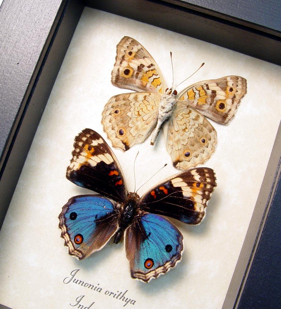Junonia orithya Blue Pansy Set Framed Butterflies ooak