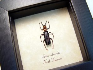 Lytta vulnerata Blister Beetle Red Headed Insect ooak
