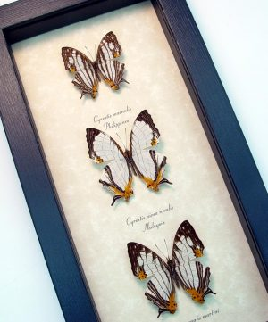 Cyrestis Butterfly Collection Map Butterflies Set ooak