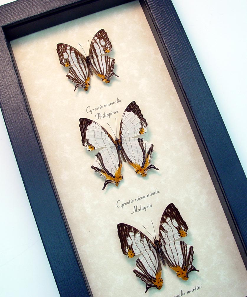 Cyrestis Butterfly Collection Map Butterflies Set ooak