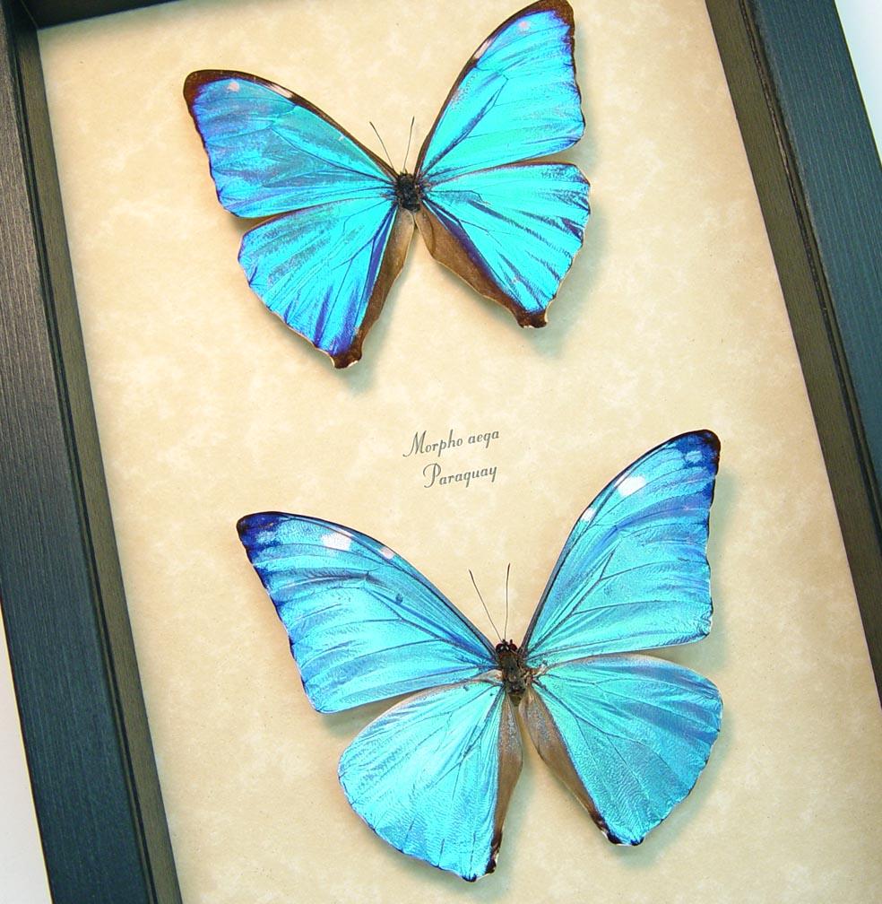 Blue Morpho Butterfly Collection Framed Butterflies ooak