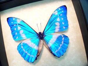 Morpho cypris Blue Morpho Butterfly ooak