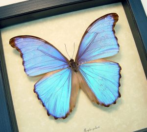 Morpho godarti Light Purple Framed Butterfly ooak