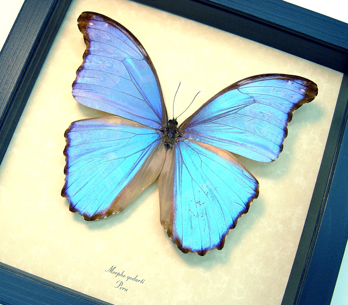 Unique Mother's Day Gift Morpho godarti  Framed Butterfly