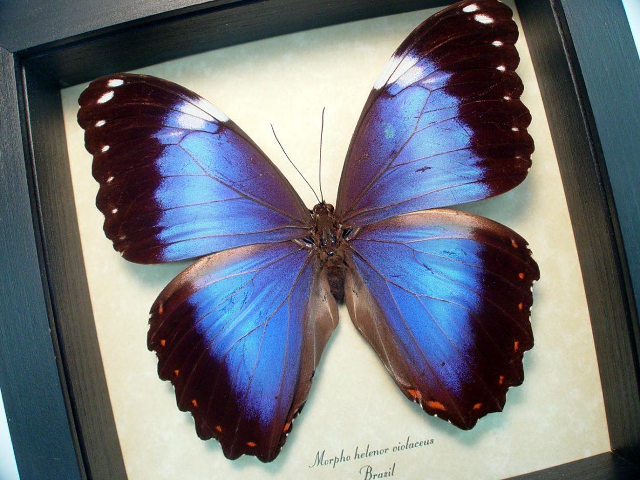 Morpho helenor violaceus Violet Butterfly ooak