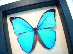 Morpho menelaus Blue Morpho Butterfly ooak
