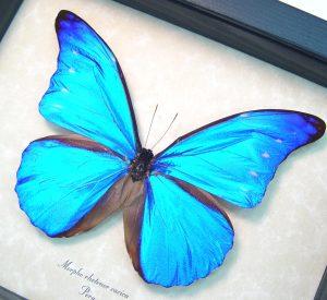 Morpho rhetenor cacica Blue Morpho Butterfly ooak