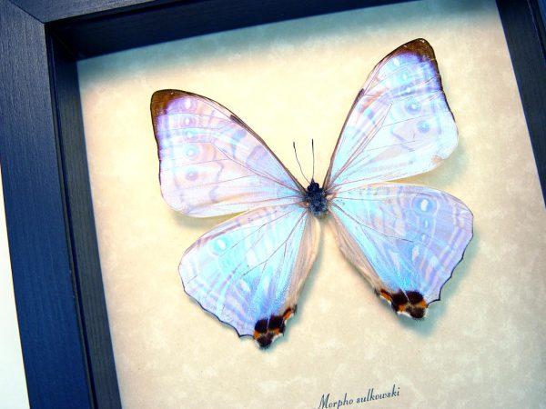 Morpho sulkowski Mother Of Pearl Shimmery Purple Butterfly ooak