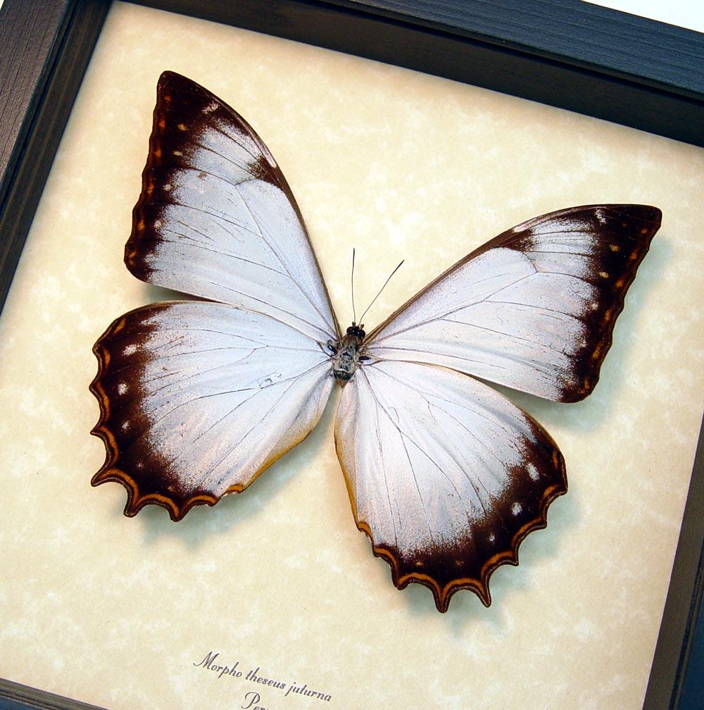 White Morpho Framed Butterfly Display ooak