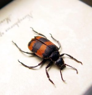Nicrophorus Blister Beetle Red Black Insect ooak