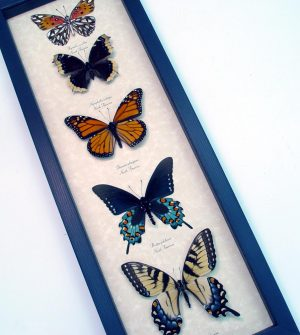 North American Butterfly Collection