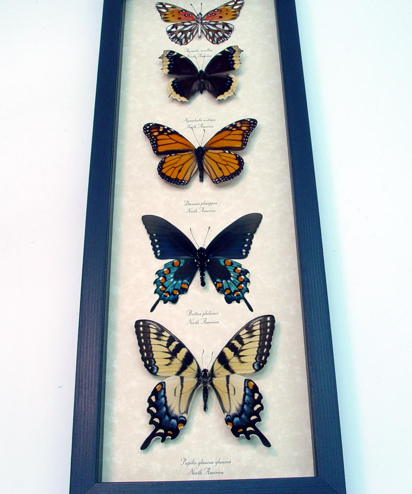 North American Butterfly Collection Butterflies