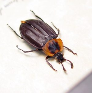 Oxelytrum discicolle Dark Tailed Carrion Beetle Flesh Eating Insect ooak