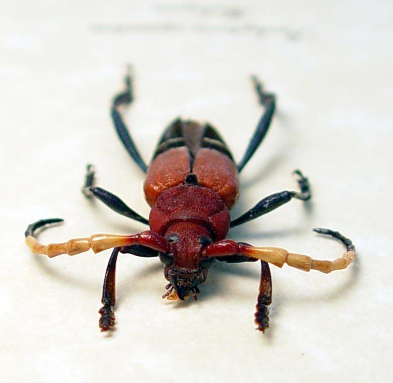 Pachyteria equestris Red Blue Longhorn Beetle ooak