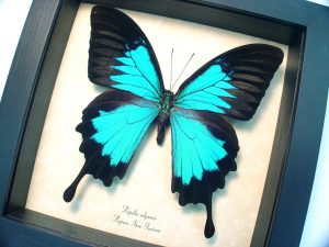 Papilio ulysses Blue Mountain Swallowtail Butterfly ooak