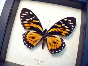 Papilio zagreus Orange Tiger Butterfly ooak