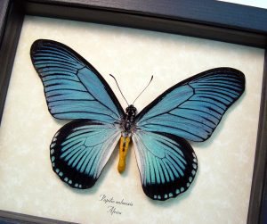Papilio zalmoxis Blue African Birdwing Butterfly