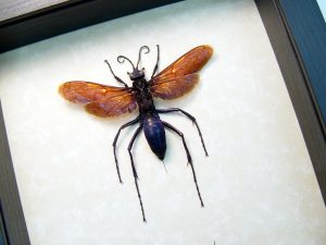 Pepsis formosa female Tarantula Hawk Wasp large ooak